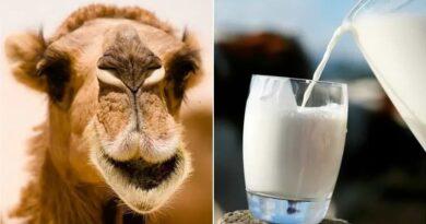 Surprising perks of camel milk
