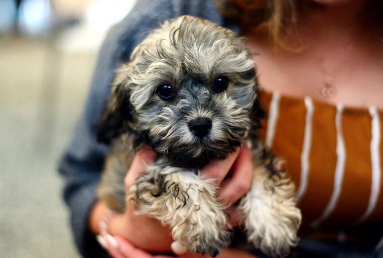 a cute puppy in lady lap