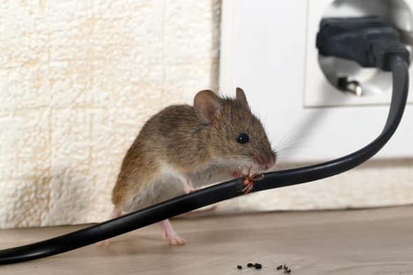 Making Attic Rat-Free