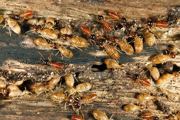 termite extermination Lafayette CA